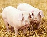 돼지 이미지