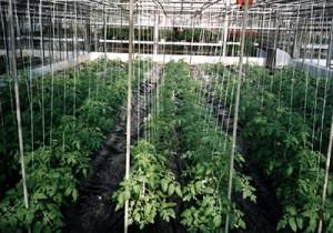 지주에묶여있는토마토나무들