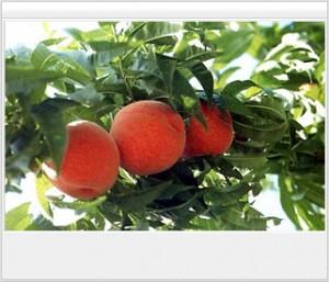 나무에 매달린 복숭아3알