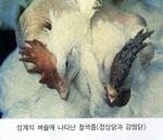 성계의 벼슬에 나타난 청색증(정상닭과 감염닭)