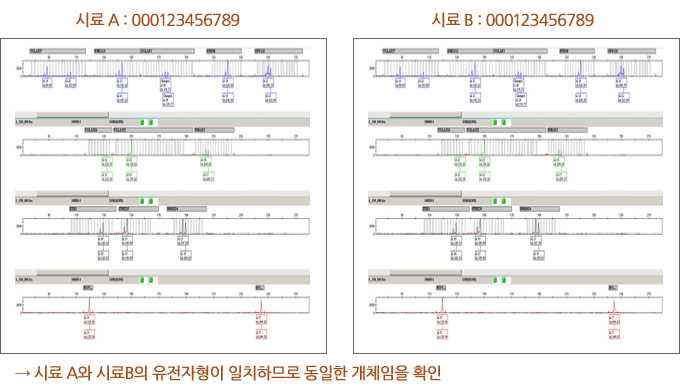 시료 A와 시료B의 유전자형이 일치하므로 동일한 개체임을 확인하는 이미지