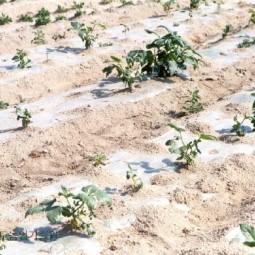 감자밭 가뭄피해