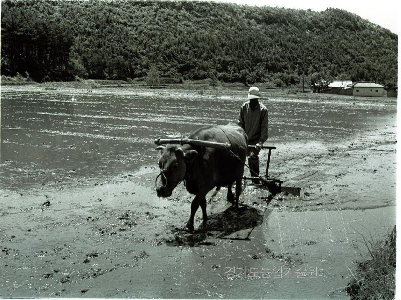 모내기철을 맞아 논에 소를 이용하여 써레질을 하고 있다.