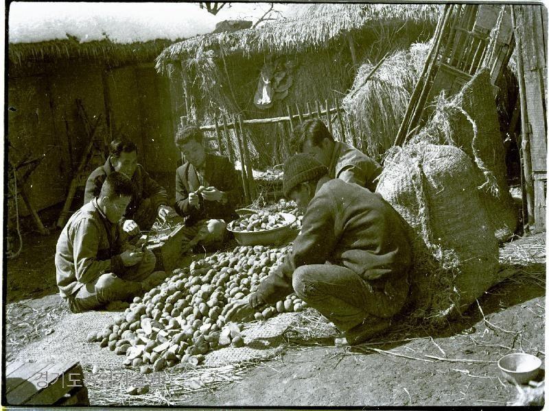 보릿고개가 있던 시절 감자는 배고품을 이기는 식량작물이었다. 감자를 심기전 건실한 씨감자를 고르고 있다.
