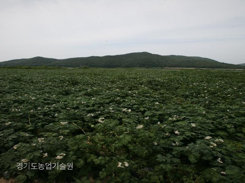 여주 남한강변의 대량으로 재배되어 농가소득을 올리고 있다.