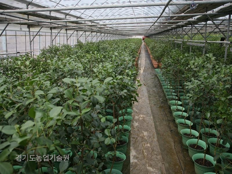 젊은 농업인이 생소한 구아바라는 작목을 재배하여 고소득을 올리고 있다.