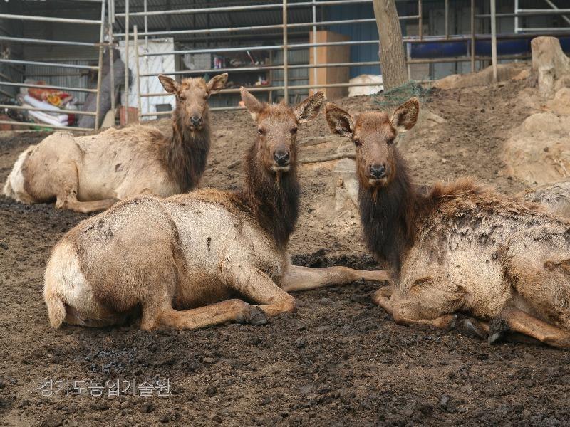 사슴을 사육하여 신세대 농업인이 고소득을 올리고 있다.