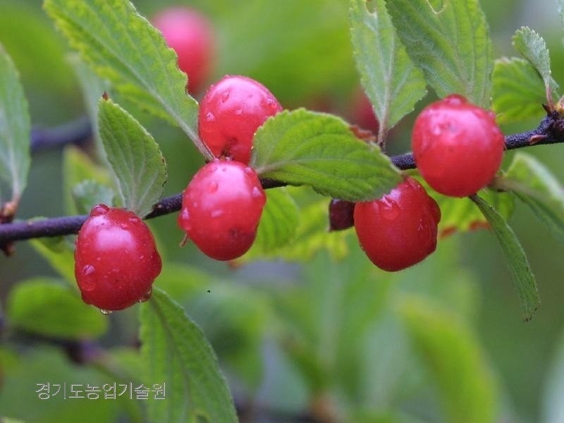 쌍떡잎식물 장미목 장미과의 낙엽관목으로 열매는 핵과로 둥글며 지름이 1cm정도로 6월에 붉게 익는다.