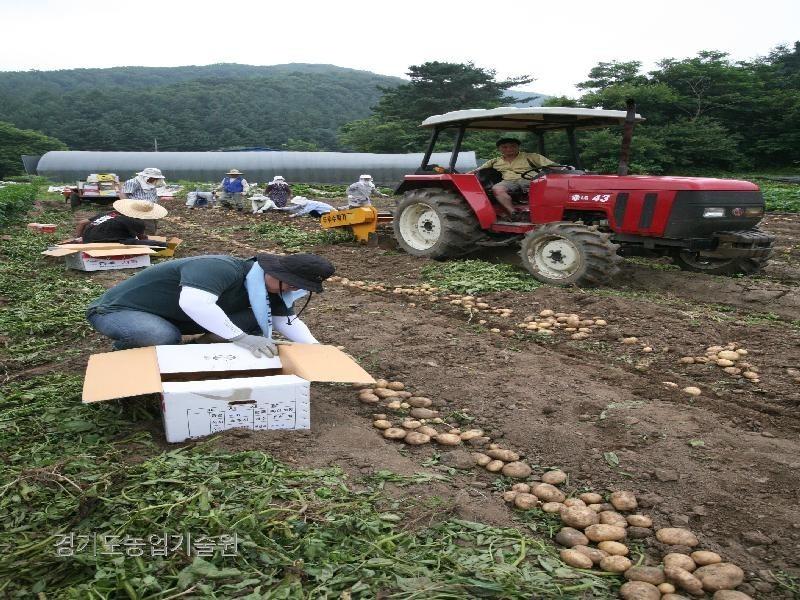 노동력이 부족 서 기계를 이용하여 감자를 수확하고 있다.