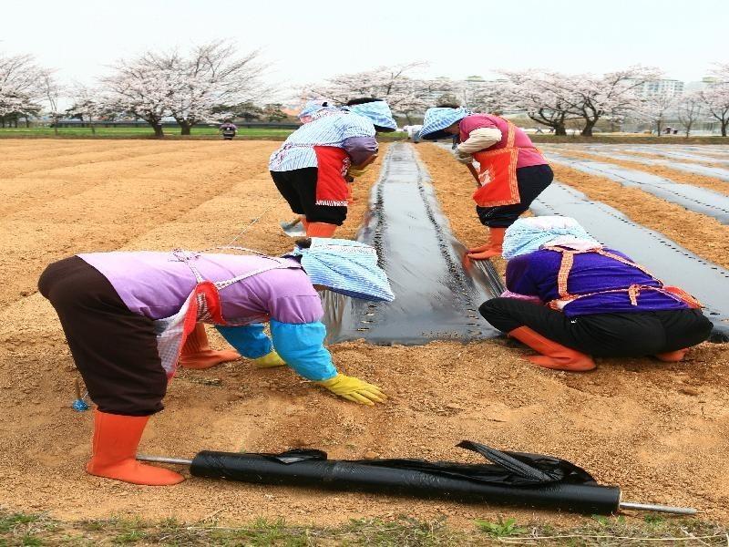 벗꽃이 활짝핀 들녘에 여성농업인들이 파종준비를 하고 있다.