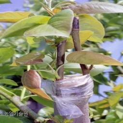 품종갱신과 수형을 바꾸기 위해 접목한 배나무. 배나무 접목은 대목의 수액이 이동하기 전에 실시하는 것이 좋으므로 3월 하순부터 4월 중순에 걸쳐 실시한다. 접목시기가 늦을 질수록 생육이 부진하므로 주의해야 한다.