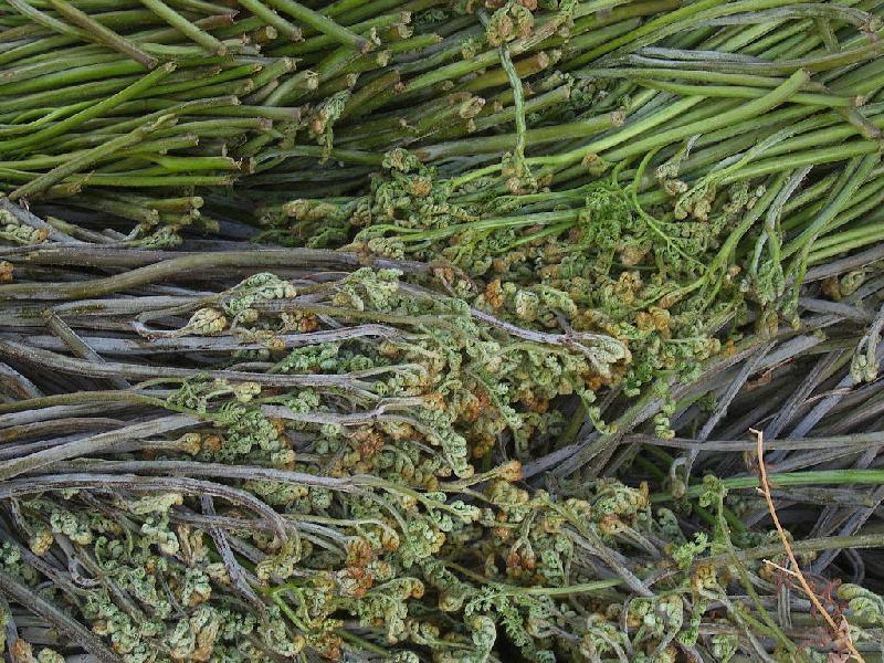 연천 청정지역에서 특화된 고사리를 재배하여 고소득을 올리고 있다.