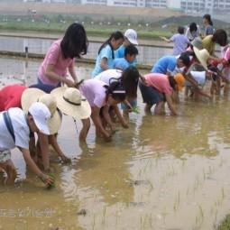 농업기술원에서 개최된 어린이 농사학습체험에서 어린이들이 모내기를 하고 있다.