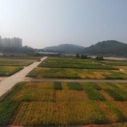 10. 콩 품종별 성숙기 차이(2016)
