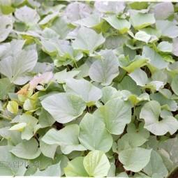 고구마 잎
