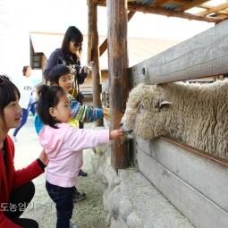 양목장 체험_03